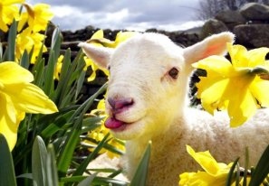 social-lamb-630x439